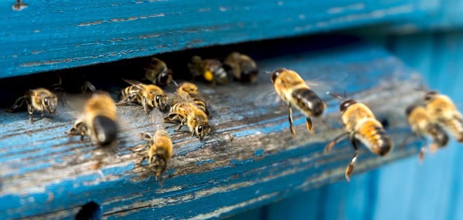Bild vergrößern: Mehrere Bienen